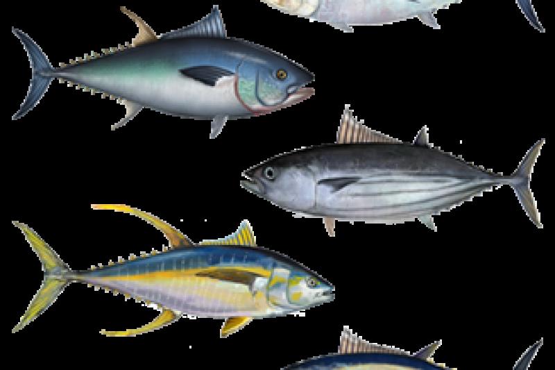 tuna fish, ton roșu, pește de ocean, nutriție